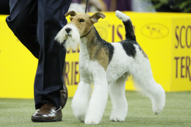 Vinny, the wire fox terrier, competes during 144th Westminster Kennel Club dog show, Tuesday, Feb. 11, 2020, in New York. (AP Photo/John Minchillo)