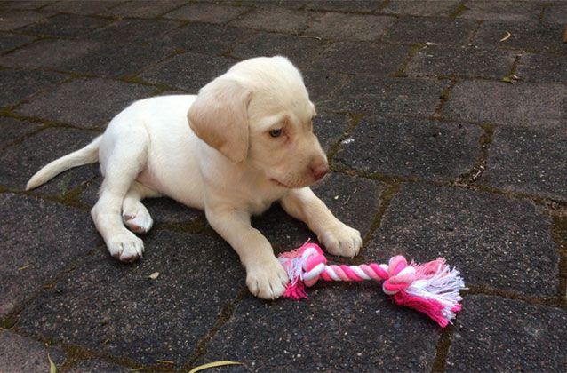 A Melbourne family is pleading for the safe return of their puppy which was stolen from their home on Monday. Picture: Victoria Police