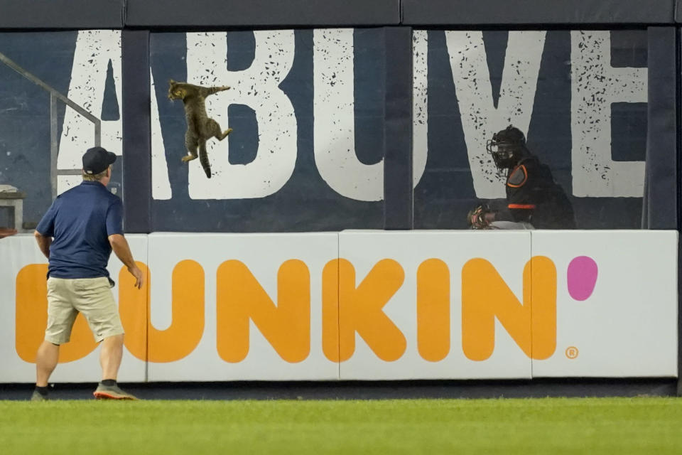 A member of the Yankee Stadium grounds crew tries to catch a cat who entered the field in the eighth inning of a baseball game between the New York Yankees and the Baltimore Orioles, Monday, Aug. 2, 2021, in New York. (AP Photo/Mary Altaffer)