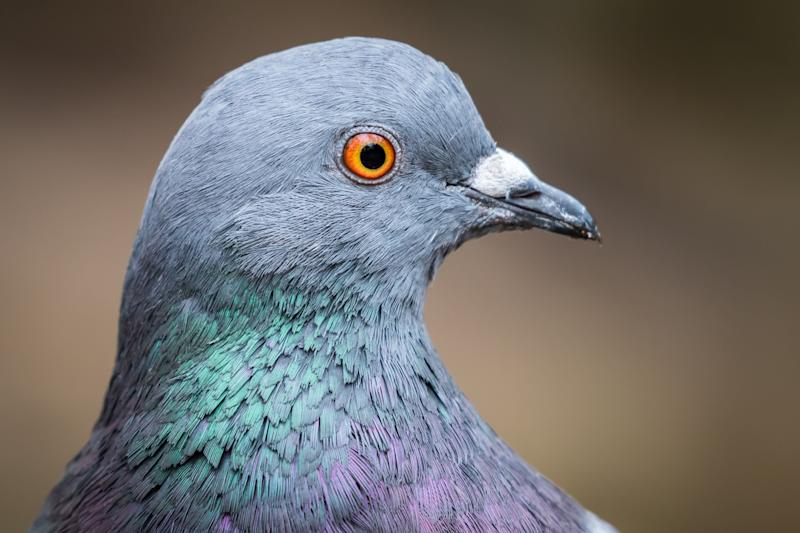 A pigeon (Photo: Getty Images)