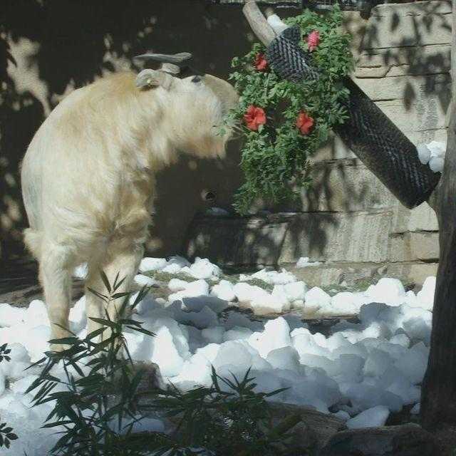 <p>The Takins at the San Diego Zoo didn't have to just dream of a white Christmas: The zookeepers brought them some ice, snow and edible wreaths!</p>