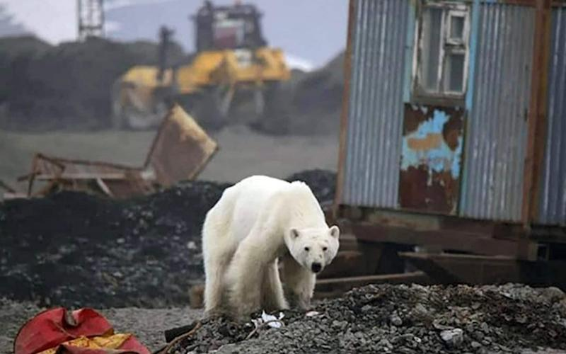 The bear walked hundreds of miles from its natural habitat in the Arctic Ocean - Zapolyarnaya Pravda