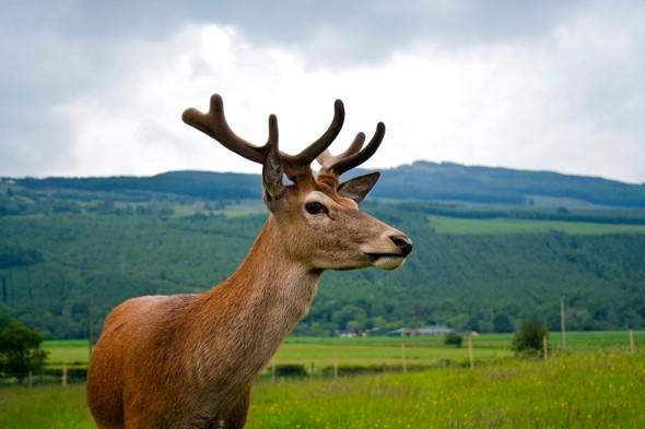 Man arrested for deer hunting on golf course in Scotland