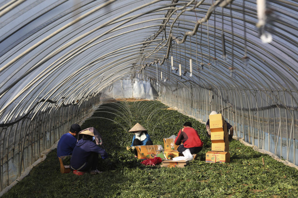 Migrant workers work inside a greenhouse at a farm in Pocheon, South Korea on Feb. 8, 2021. Activists and workers say migrant workers in Pocheon work 10 to 15 hours a day, with only two Saturdays off per month. They earn around $1,300-1,600 per month, well below the legal minimum wage their contracts are supposed to ensure. (AP Photo/Ahn Young-joon)