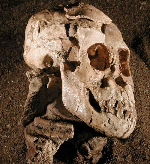 Early Human 'Lucy' Swung from the Trees