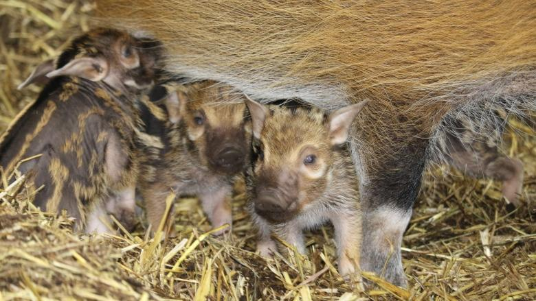 Red River hoglets make debut at the Calgary Zoo