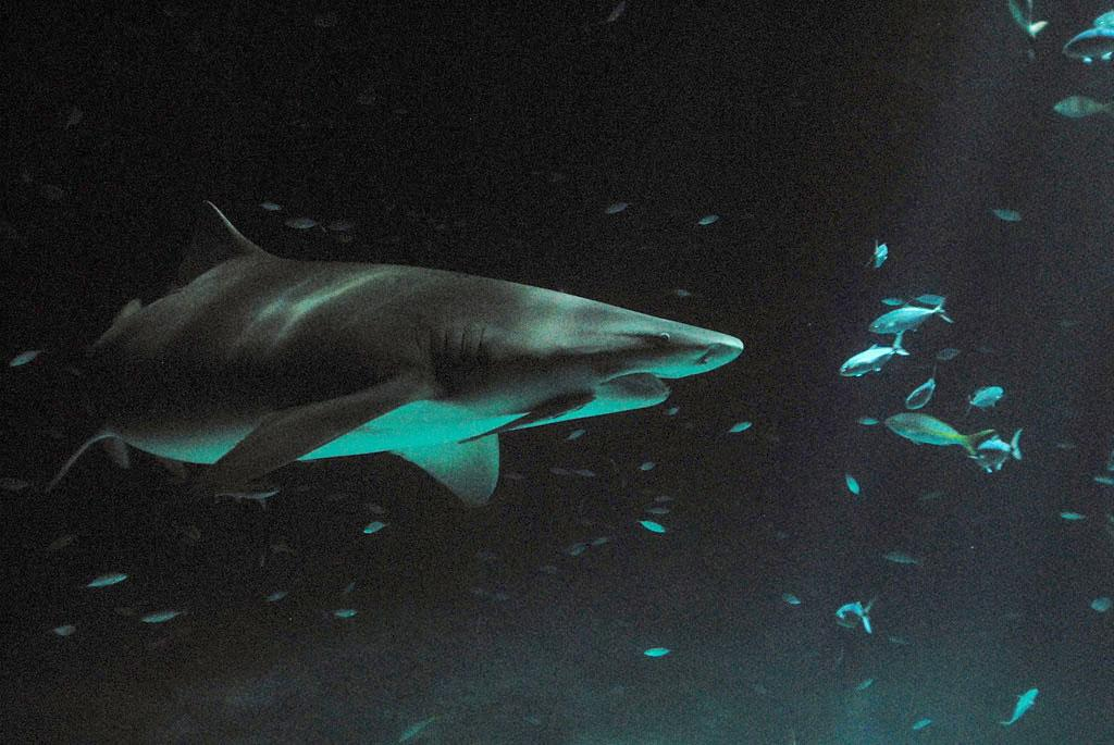 A lemon shark is spotted during a night dive. Shark After Dark
