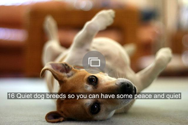 16 Quiet dog breeds so you can have some peace and quiet