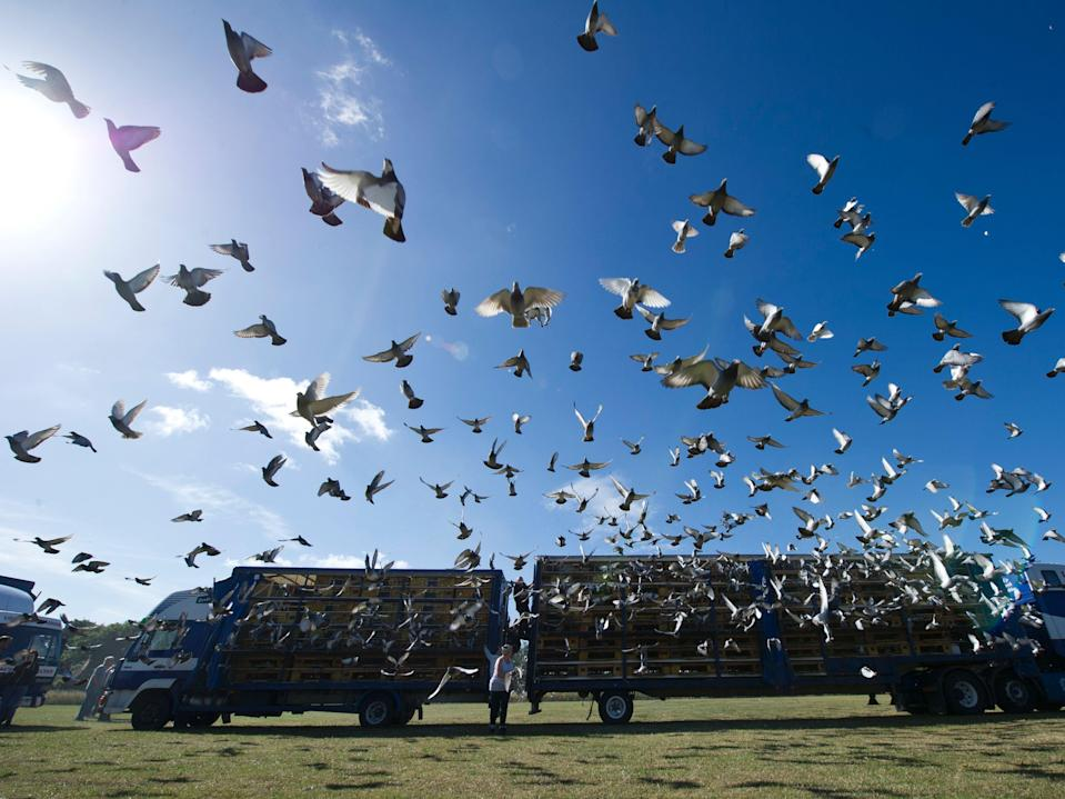 Thousands of racing pigeons are released from the Kilton Forest Show Ground in Worksop, Nottinghamshire (file image) (OLI SCARFF/AFP via Getty Images)