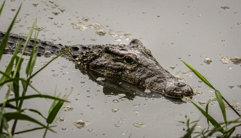 """The Cuban crocodile is listed as """"critically endangered,"""" with just a few thousand specimens left"""