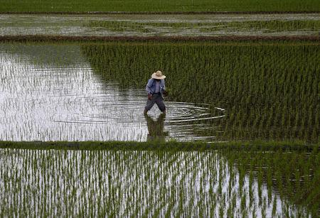 FILE PHOTO: A farmer plants saplings in a rice field in Satsumasendai,Japan