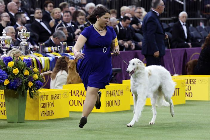 A borzoi and trainer compete during the herding group judging at the 143rd Westminster Kennel Club Dog show at Madison Square Garden in New York, Feb. 11, 2019. (Photo: Caitlin Ochs/Reuters)
