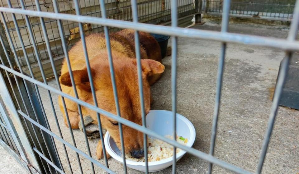 A surviving female mongrel was found in good condition at the temple in Ta Kwu Ling. Photo: Handout