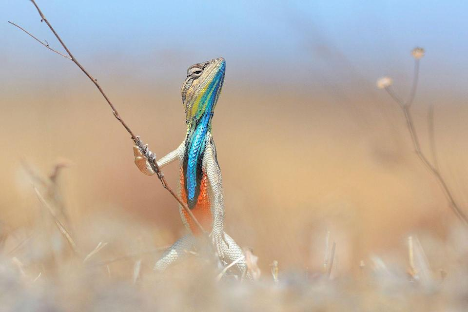 <p>This lizard holds the record for reptile pole vaulting. Fun fact. </p>