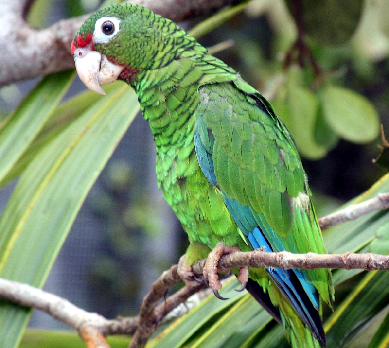 Parrot - Wikipedia