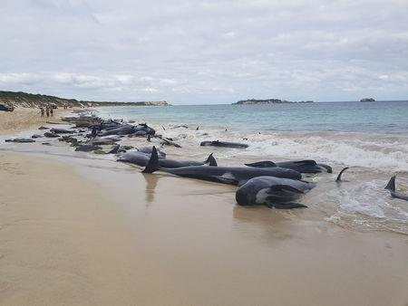 Stranded whales on the beach at Hamelin Bay in this picture obtained from social media, March 23, 2018. Leearne Hollowood/via REUTERS