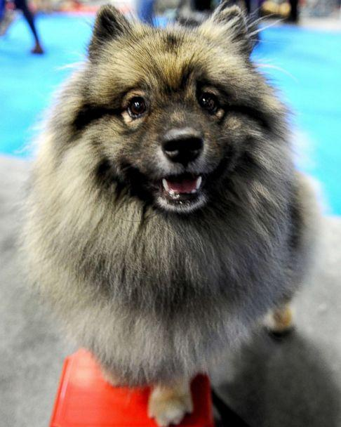 PHOTO: Pandora, a Keeshond attends the National Pet Show on Nov. 4, 2017, in Birmingham, England.   (Shirlaine Forrest/WireImage via Getty Images)