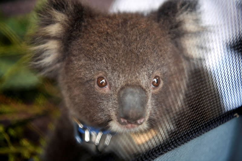 Koala chaos ends as Australian state leaders reach truce over habitat law