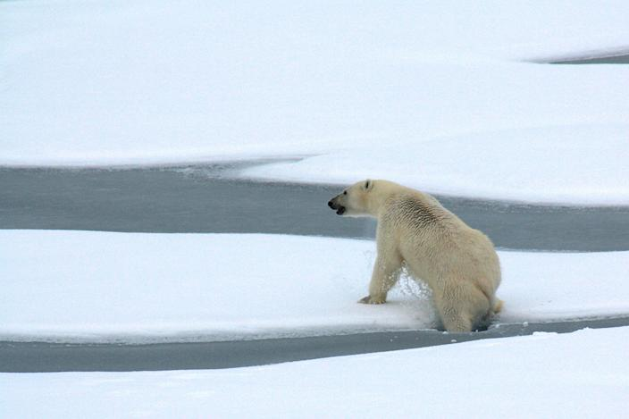 <p>A polar bear breaks through thin Arctic Ocean ice a decade ago. The Arctic region has endured one of its hottest years in 2020</p> (Patrick Kelly/US Coast Guard)