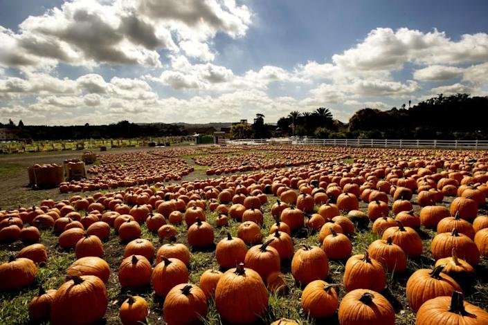 """Cal Poly Pomona's annual Pumpkin Festival is canceled. But its 5 acres of pick-your-own pumpkins is open. Just don't forget your mask. <span class=""""copyright"""">(Tom Zasadzinski / Cal Poly Pomona)</span>"""