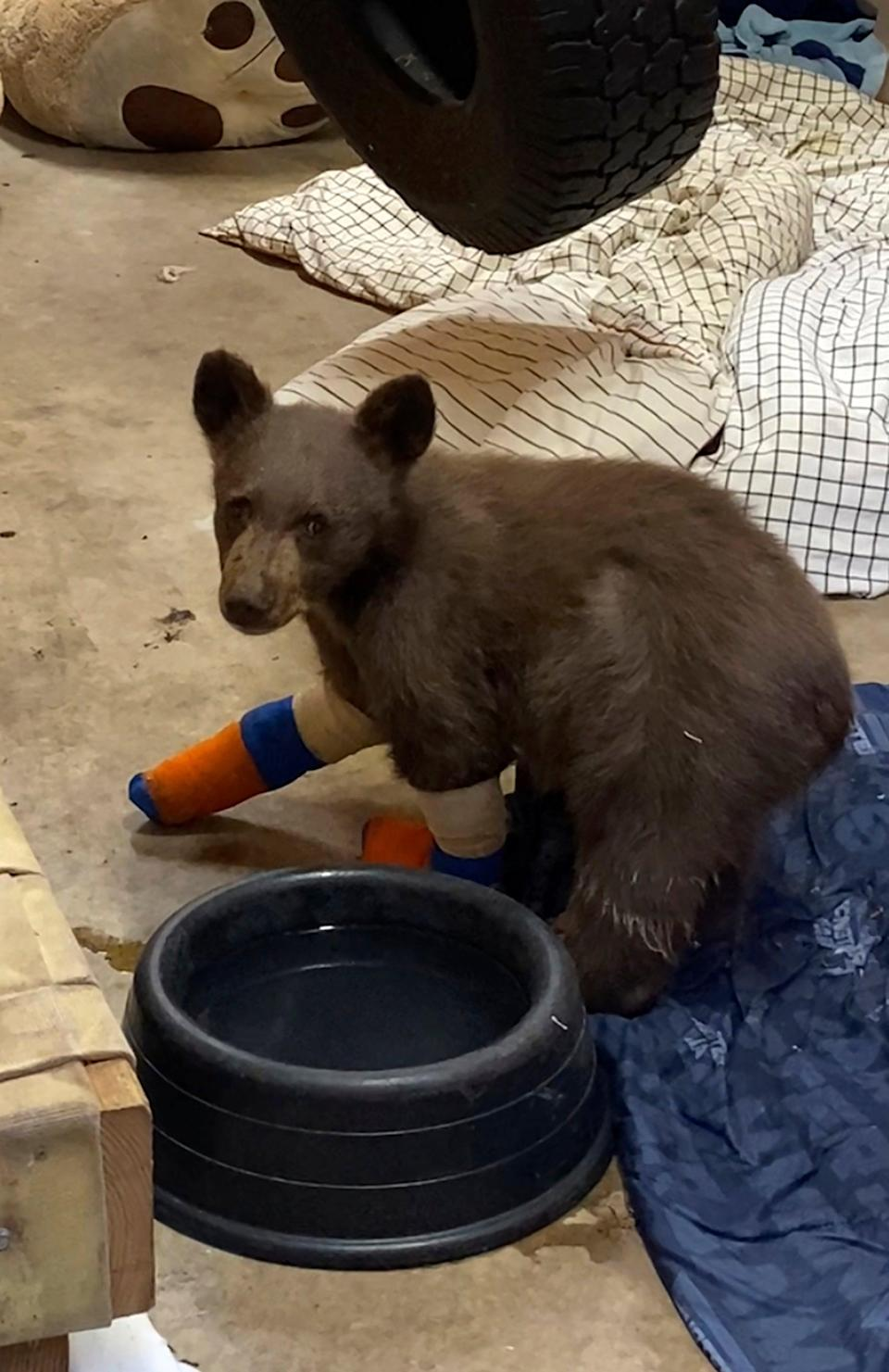 Rescued Tahoe Cub Escapes (Lake Tahoe Wildlife Care)