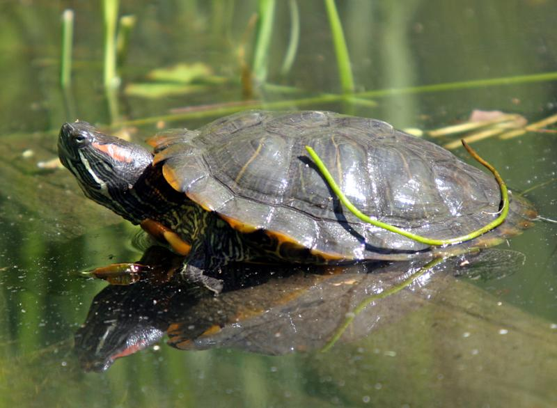 A red-eared slider basks in the sun at the Prospect Park Zoo, Monday, May 22, 2006 in Brooklyn, New York. May 23 is World Turtle Day, a day established as an effort to protect the number of turtle species that have become critically endangered due to their popularity in the food and traditional medicine trade. (AP Photo/Mary Schwalm)