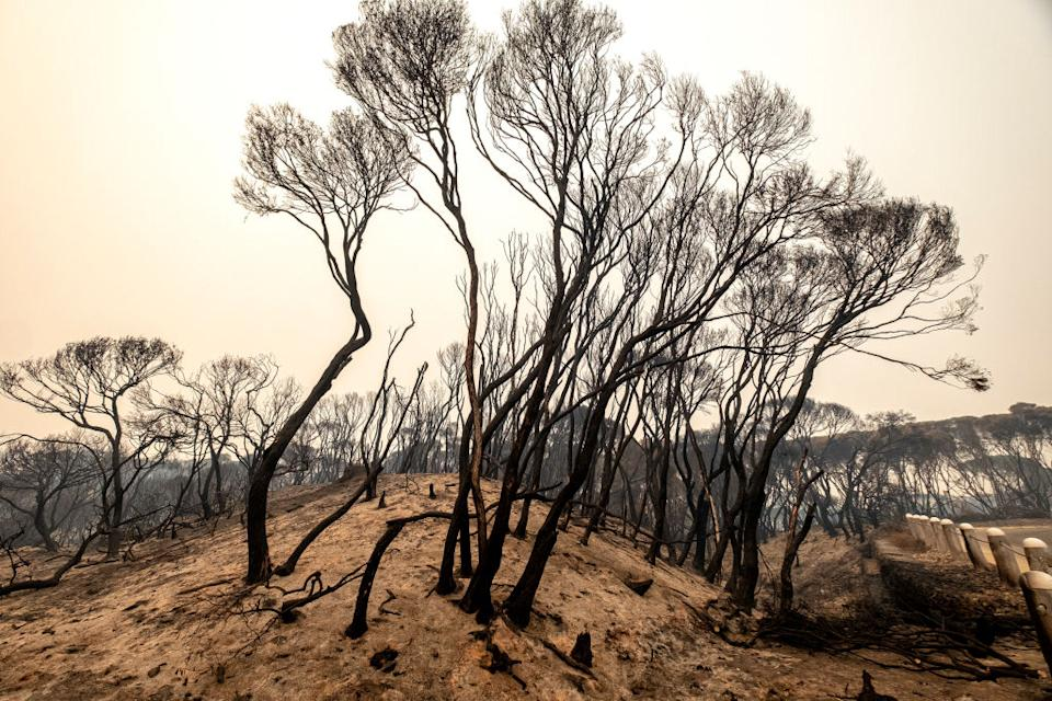 Black and burnt trees on a dusty hill in Mallacoota after the bushfires.
