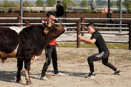 Bullfighter Ren Ruzhi, 24, fights with a bull during a practice session at the Haihua Kung-fu School in Jiaxing, Zhejiang province, China October 27, 2018. REUTERS/Aly Song