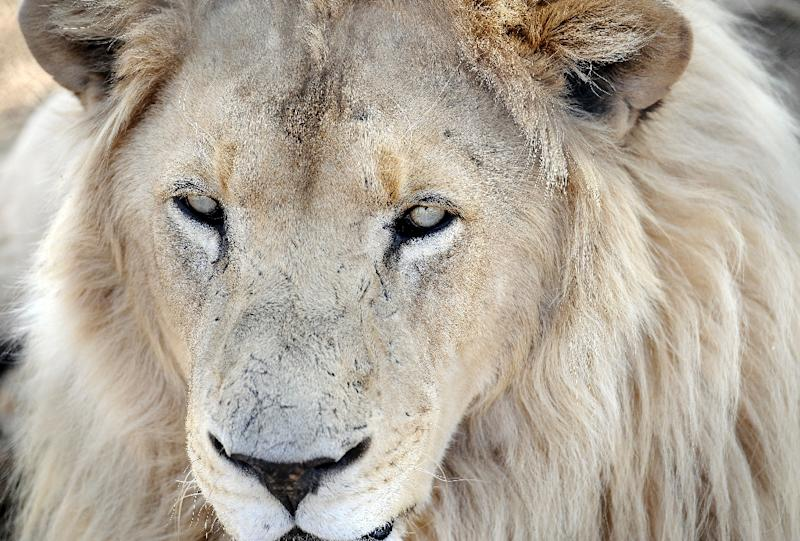 Poachers often target lions and rhinoceroses in South Africa's game parks