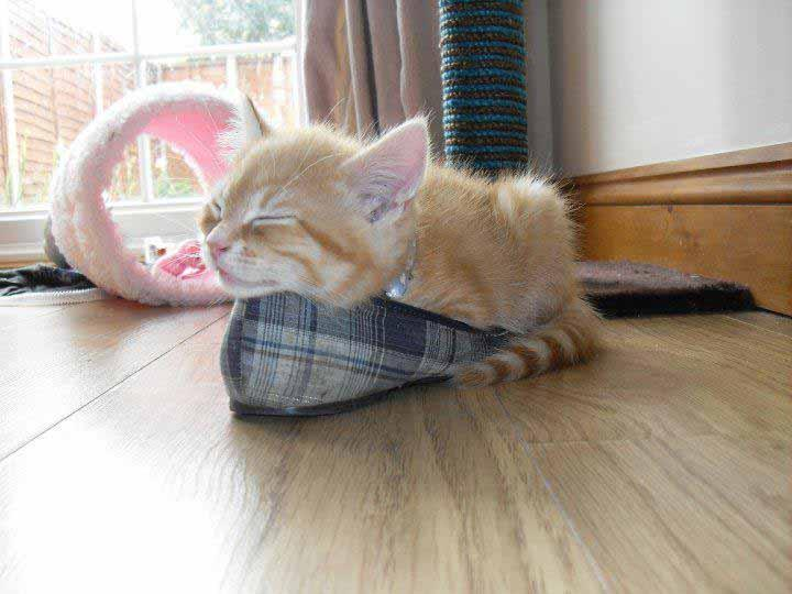 """The winner was this cute ginger kitten napping in a slipper. The charity said: """"Few people realise that cats can sleep for 16 hours a day, about twice as much as humans, so the charity ran the online contest to try to raise awareness of the importance of sleep and educate cat owners on sleep behaviour."""""""