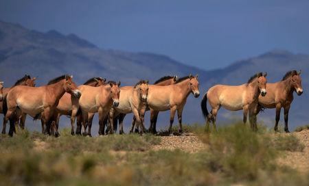A herd of endangered Przewalski horses are seen at the Takhin Us National Park in the south-west part of ongolia, July 16, 2012. REUTERS/Petr Josek/Files