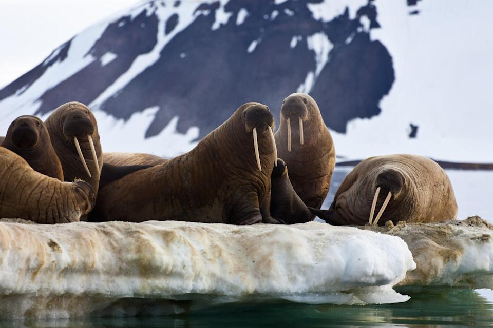 Walruses are one of many marine mammals threatened by rapid ice loss in the Arctic (Getty)