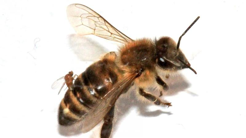 'Zombie' Bees Surface in the Northeast