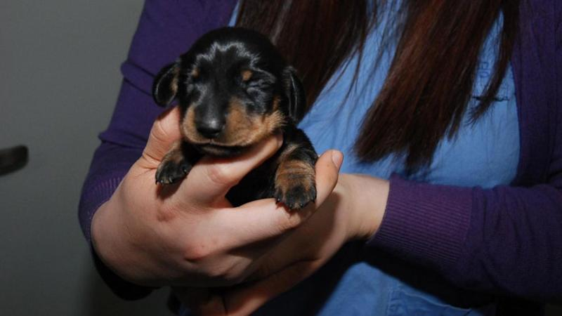 UK Woman Wins Contest to Clone Wiener Dog
