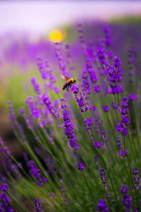 """<p>Lavender is not only beautiful, but the flowers can also be harvested to add a light flavor to baked goods. Of course, it's also a great ingredient for DIY candles! There are many different varieties so make sure the type you purchase will survive winters in your part of the country.</p><p><a class=""""link rapid-noclick-resp"""" href=""""https://www.greatgardenplants.com/collections/all/products/grosso-lavender?variant=37358148419751"""" rel=""""nofollow noopener"""" target=""""_blank"""" data-ylk=""""slk:SHOP NOW"""">SHOP NOW</a></p>"""