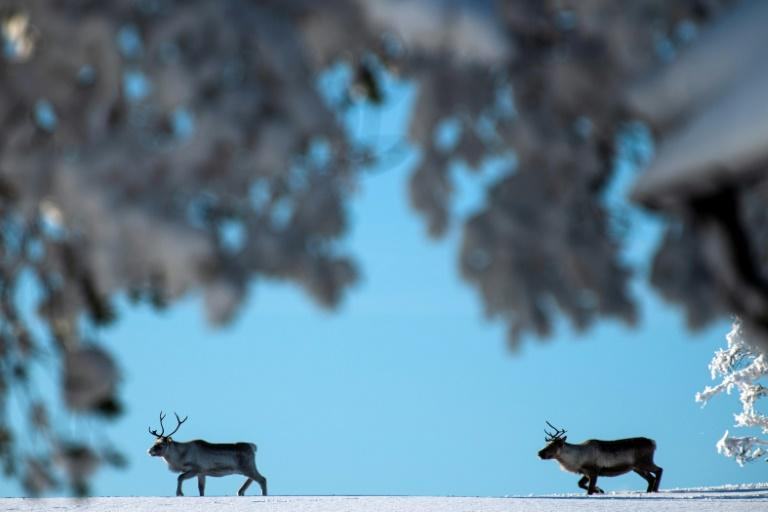 In Sweden, only the Sami are allowed to herd reindeer, raised for their meat, pelts and antlers