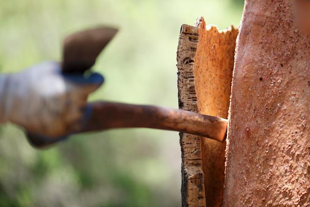 ALCALA DE LOS GAZULES, SPAIN - JULY 03: An axeman, 'Hacha,' removes the bark from a cork oak at Parque Natural de los Alcornocales on July 3, 2013 near Alcala de los Gazules, Spain. Spain and Portugal are the largest producers of cork in the world with Los Alcornocales Natural Park in the Iberian Peninsula being the leading region for production. The ancient cork cultivated in these oak forests is a major world export, financially benefitting the region. The bark from the oak is harvested every nine years, through traditional methods. The best planks are sourced for wine bottling corks while the rest is processed into agglomerate cork. (Photo by Pablo Blazquez Dominguez/Getty Images)