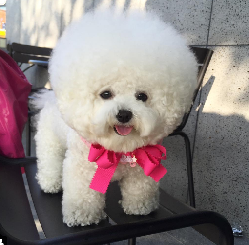 Bichon Frise Weird Facts Did You Know? - Terrific Pets