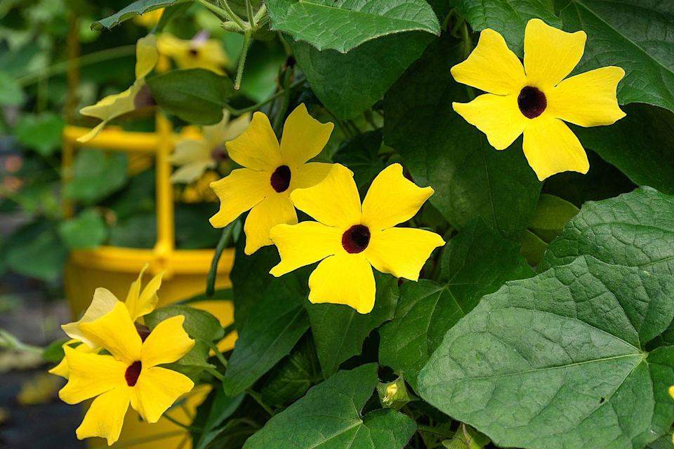 <p>Don't let the vine variety throw you off—while Black-Eyed Susans do grow rather rapidly and aggressively (they can actually climb up the basket's hangers), they're incredibly easy to maintain and produce very colorful flowers. Consider growing these along a fence or wall, too. </p><p><strong>Zones: 3-11</strong></p>