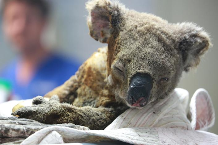 An injured koala receives treatment after its rescue from a bushfire at the Port Macquarie Koala Hospital on Nov. 19, 2019, in Port Macquarie, Australia. (Photo: China News Service via Getty Images)