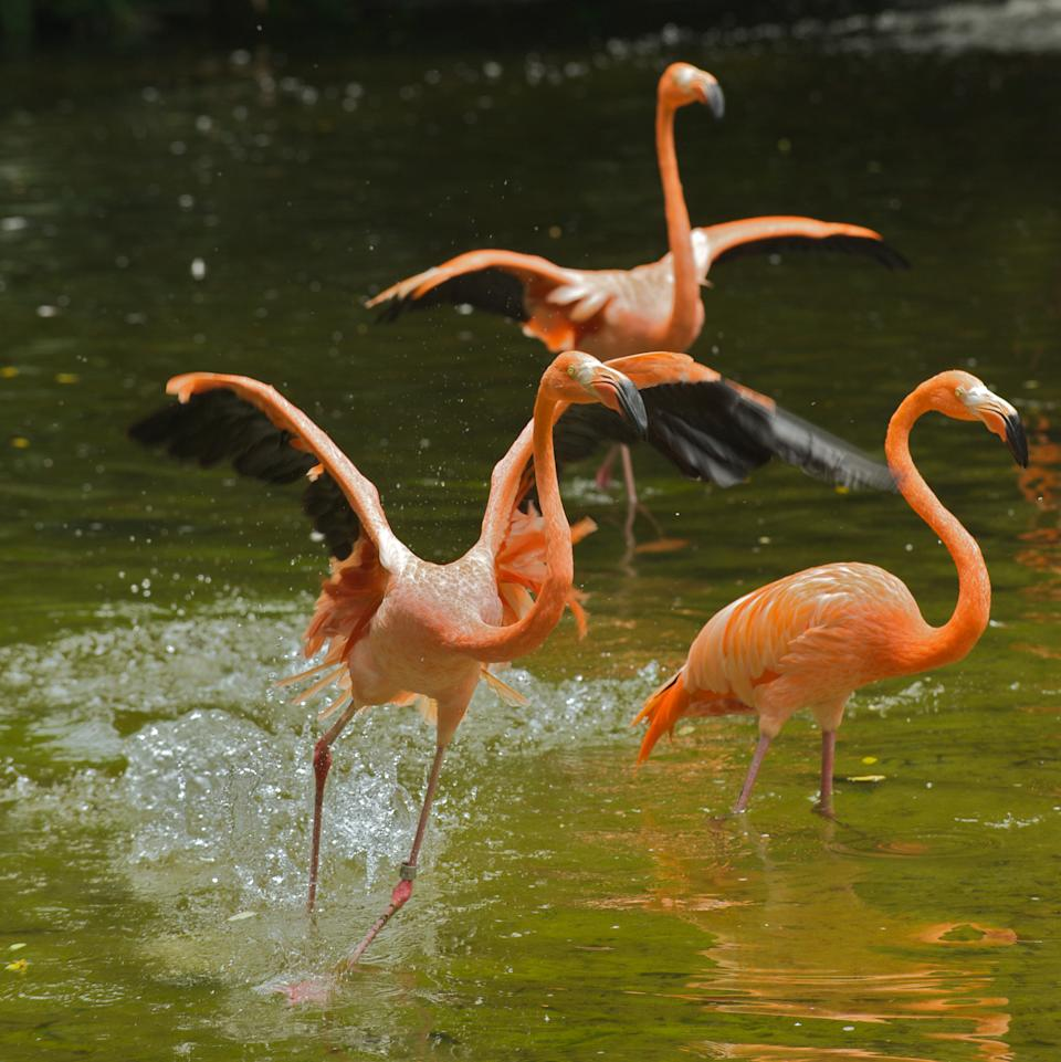 A flock of Caribbean flamingos at Jurong Bird Park's Flamingo Pool. Guests will have the opportunity to symbolically foster the species through its Foster a Flamingo programme with a contribution of $50, contributing to Wildlife Reserves Singapore's animal care and conservation efforts. (PHOTO: Wild Reserves Singapore)