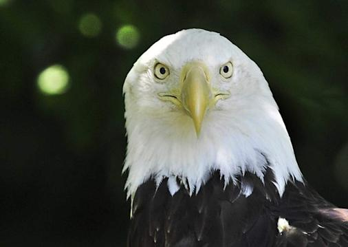 Bald eagles typically prey on fish, but they also are scavengers, eating roadkill and rodents. About 700 pairs are living in Michigan. (Daniel Mears / The Detroit News)