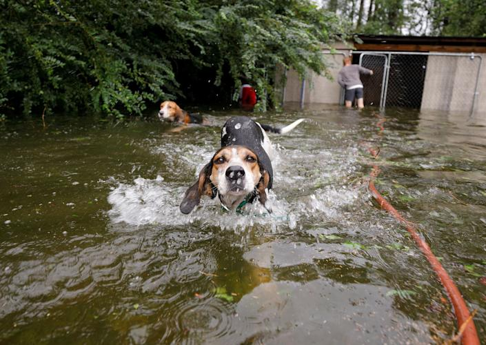 Panicked dogs who were left caged by an owner who fled rising flood waters in the aftermath of Hurricane Florence, swim free after their release in Leland, North Carolina, U.S.