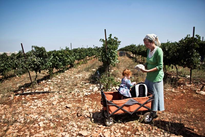 FILE PHOTO: A Christian volunteer stands in a vineyard during grape harvest in a Jewish settlement near Nablus