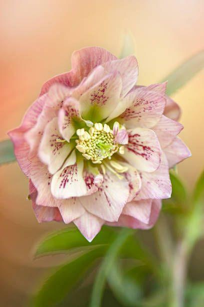 "<p>Hellebores are, in a word, stunning! These perennials bloom in late winter to early spring, depending on the variety and region where you live. They appear fragile but actually are tough and long-lasting.</p><p>Try: Wedding Party Confetti Cake, Phoenix</p><p><a class=""link rapid-noclick-resp"" href=""https://go.redirectingat.com?id=74968X1596630&url=https%3A%2F%2Fwww.burpee.com%2Fperennials%2Fhellebores%2Fhellebore-wedding-party-confetti-cake--prod099612.html&sref=https%3A%2F%2Fwww.housebeautiful.com%2Flifestyle%2Fg33250622%2Fwhat-to-plant-in-october%2F"" rel=""nofollow noopener"" target=""_blank"" data-ylk=""slk:SHOP NOW"">SHOP NOW</a></p>"