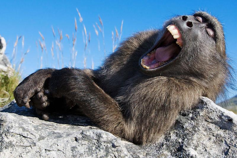 A sleepy chacma baboon couldn't stifle an enormous yawn. (Photo: Lee Slabber/Caters News)