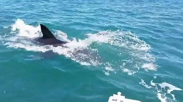 The shark jumps out of the water to grab a piece of the bait. Source: 7News