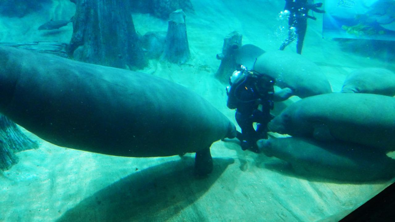The River Safari, which houses the world's largest freshwater aquarium, unveiled a manatee as its new animal icon on Wednesday (25 May). (Yahoo/Erin Kimbrell)
