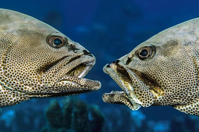 <p>The grouper there spawn only once a year under a full moon, sometime in June or July, and only for around 30 minutes. (Photo: Caters News) </p>