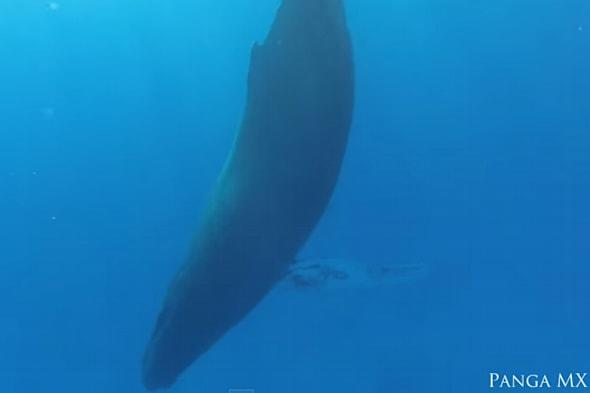 Sleeping humpback whale captured in rare footage